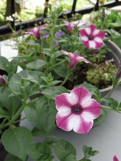 petunia-1.jpg