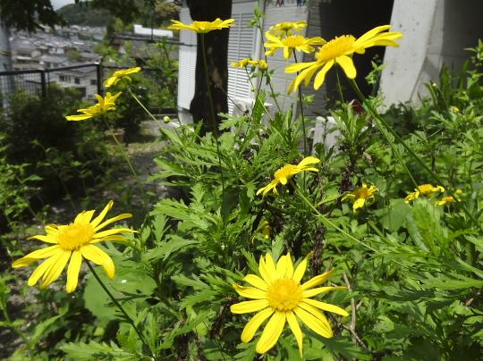 yuriopus daisy.jpg