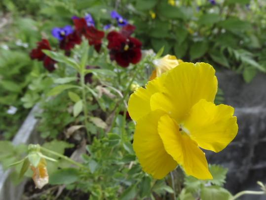 黄色パンジー.jpg