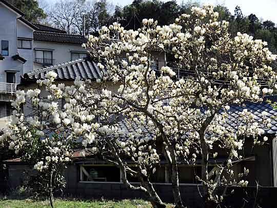 hakumokuren-1.jpg